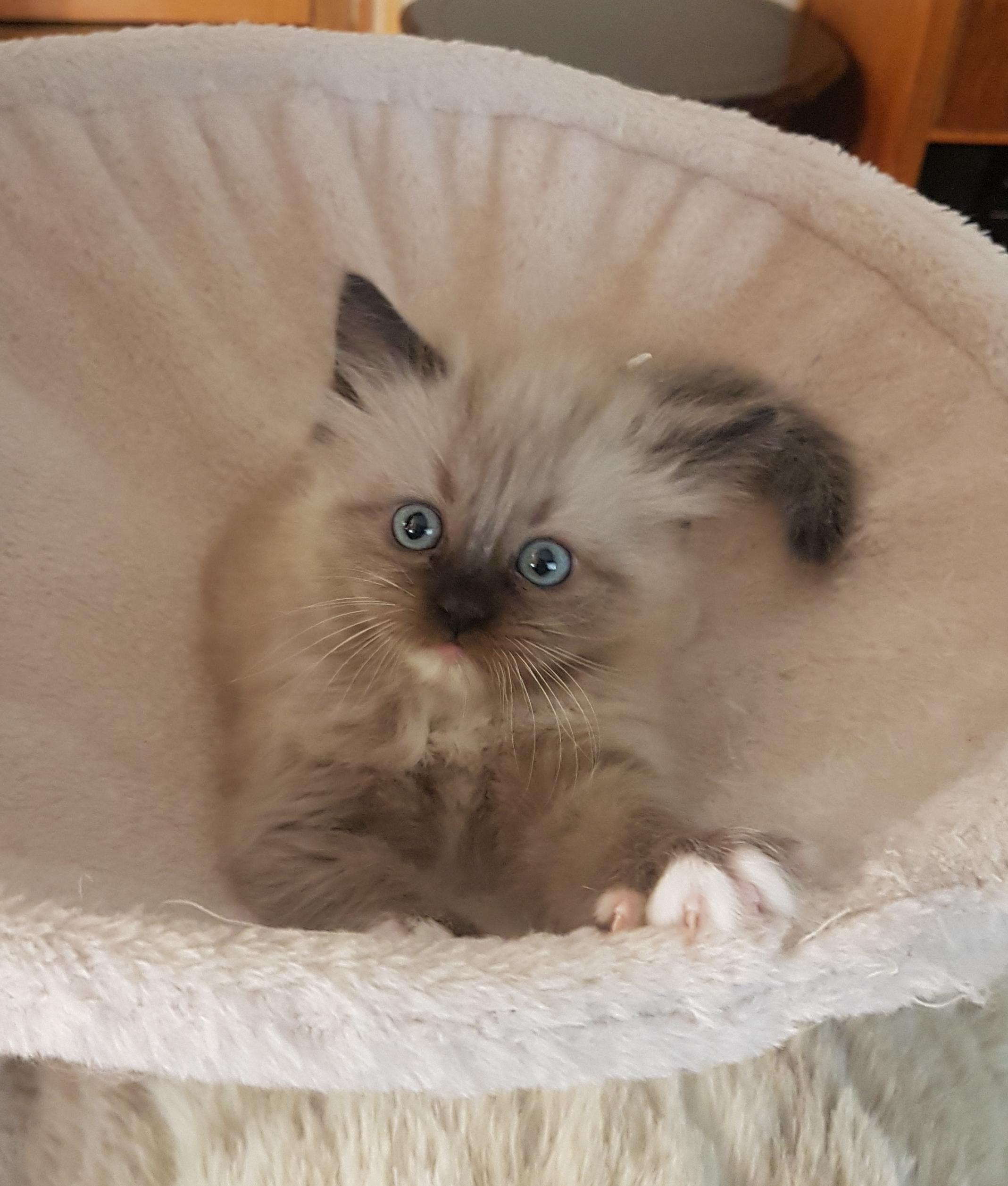 Mink Ragdoll Kittens B.C Canada