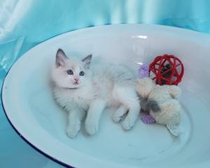 Blue Bi-color Ragdoll Kitten